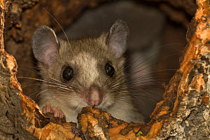 Fat / Edible dormouse (Glis glis) Lower Saxony, Germany, captive - Kerstin Hinze