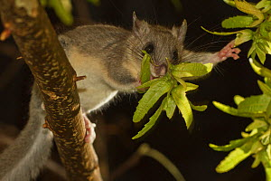 Fat / Edible dormouse (Glis glis) feeding on leaves at night, Germany, captive - Kerstin Hinze