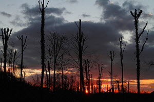 Silhouette of pollarded trees, tops cut off due to  vicinity of airport, Querumer Forest, Brunswick, Lower Saxony, Germany, March 2011  -  Kerstin Hinze