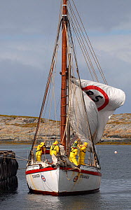 1901 Colin Archer rescue boat 'Stavanger' hoisting her mainsail before sailing out of Sor-Gjslingan. Vikna archipelago, Norway, May 2009.  -  Nic Compton