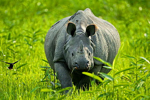 Indian / Asian one-horned rhinoceros (Rhinoceros unicornis) approaching, Kaziranga National Park, Assam, India  -  Sandesh Kadur