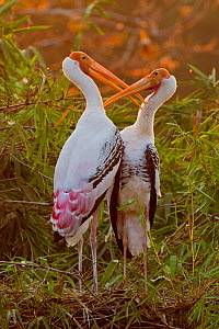 A pair of Painted storks (Mycteria leucocephala) grooming each other at sunset, Ranganathittoo Bird Sanctuary, Karnataka, India, March  -  Sandesh Kadur