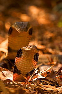 King cobra (Ophiophagus hannah) male and female courtship, Agumbe, Karnatka, India, captive - Sandesh Kadur