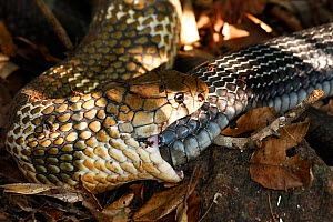 King cobra (Ophiophagus hannah) cannibalism, male swallowing female on forest floor, Agumbe, Karnatka, India  -  Sandesh Kadur