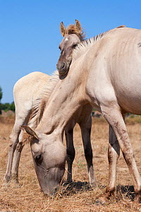 A rare Sorria colt resting on the neck of his Sorraia mother, Reserva Natural do Cavalo do Sorraia, Alpiarca, District Santarem, Alentejo, Portugal. - Kristel Richard