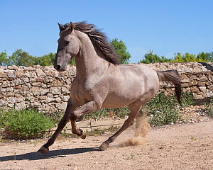 A rare Sorraia stallion cantering, Coudelaria Nacional (National Stud Farm), in Alter do Chao, District of Portalegre, Alentejo, Portugal.  -  Kristel Richard
