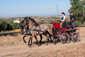 Two rare Sorraia stallions pulling a cart in front of the Coudelaria Nacional (National Stud Farm), in Alter do Chao, District of Portalegre, Alentejo, Portugal.  -  Kristel Richard