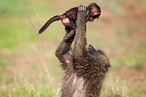 Olive baboon (Papio cynocephalus anubis) baby aged 3-6 months held in air by adult, Masai Mara National Reserve, Kenya, February - Anup Shah