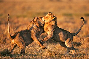 Adolescent male Lions (Panthera leo) play fighting, Masai Mara National Reserve, Kenya, March - Anup Shah