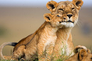 Lioness (Panthera leo) and cub aged 9-12 months share affectionate moment, Masai Mara National Reserve, Kenya  -  Anup Shah