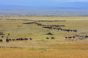 Eastern White bearded wildebeest (Connochates taurinus albojubatus) migration herd on the move, Masai Mara National Reserve, Kenya 2008 - Anup Shah