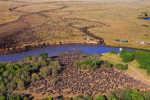 Aerial view of herd of Eastern White bearded wildebeest (Connochaetes taurinus albojubatus) crossing the Mara River watched by tourist vehicles, Masai Mara National Reserve, Kenya 2008 - Anup Shah