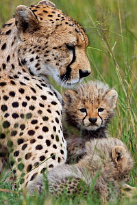 Cheetah female with cubs aged 1-3 months (Acinonyx jubatus) Masai Mara National Reserve, Kenya  -  Anup Shah