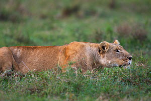 Lioness (Panthera leo) stalking through the grass, Masai Mara National Reserve, Kenya  -  Anup Shah