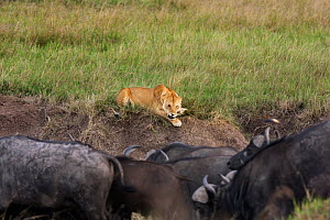 Lioness (Panthera leo) trying to warn off herd of Cape buffalo (Syncerus caffer caffer), Masai Mara National Reserve, Kenya  -  Anup Shah