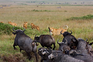 Lioness (Panthera leo) trying to protect cubs from charging Cape buffalo herd (Syncerus caffer caffer), Masai Mara National Reserve, Kenya  -  Anup Shah