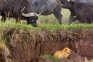 Lion cub (Panthera leo) trapped by herd of Cape buffalo (Syncerus caffer caffer), Masai Mara National Reserve, Kenya - Anup Shah