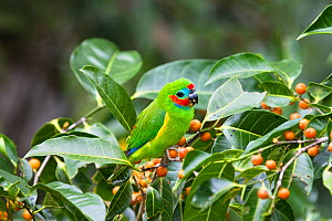 Double-eyed fig-parrot (Cyclopsitta diophthalma macleayana) feeding on figs in Rainforest, Daintree National Park, North Queensland, Australia, October  -  Konrad Wothe