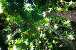 Looking up through the canopy of Fan Palms (Licuala ramsayi) in rainforest, Daintree National Park, North Queensland, Australia  -  Konrad Wothe