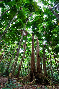 Fan Palms (Licuala ramsayi) in rainforest, Daintree National Park, North Queensland, Australia, October  -  Konrad Wothe