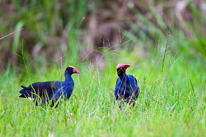 Two Purple swamphens (Porphyrio porphyrio) feeding on grass seeds, Atherton Tablelands, Queensland, Australia, November  -  Konrad Wothe