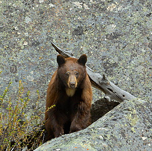 Portrait of a Grizzly Bear (Ursus arctos horribilis) against rock. Yellowstone National Park, Wyoming, USA, May. - George Sanker