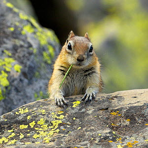 Portrait of Golden Mantled Ground Squirrel (Spermophilus lateralis) with a blade of grass in its mouth. Yellowstone National Park, Wyoming, USA, May. - George Sanker