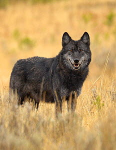 Portrait of Grey Wolf (Canis lupus). Yellowstone National Park, Wyoming, USA, October.  -  George Sanker
