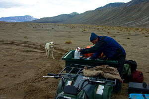 Wild Arctic wolf (Canis lupus) in camp during filming of Frozen Planet, Ellesmere Island, Nunavut, Canada, June 2008. Taken on location for BBC series, Frozen Planet, Summer  -  Jeff Wilson