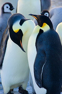 Emperor penguin (Aptenodytes forsteri) two adults in colony, Cape Crozier, Antarctica, November 2009. Taken on location for BBC series, Frozen Planet, Spring. - Jeff Wilson
