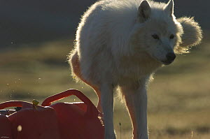 Wild Arctic wolf (Canis lupus) marking fuel containers in camp during filming of Frozen Planet, Ellesmere Island, Nunavut, Canada, June 2008, Taken on location for the BBC series, Frozen Planet.  -  Jeff Wilson
