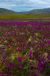 Fields of flowering Dwarf fireweed (Chamerion latifolium) Ellesmere Island, Nunavut , Canada, June 2008. Taken on location for the BBC series, Frozen Planet. - Jeff Wilson