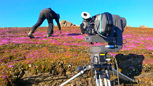 Cameraman Warwick Sloss filming Purple Saxifrage (Saxifraga oppositifolia) in flower on Svalbard, Spitzbergen, Norwiegan Arctic, July 2009. Taken on location for the BBC series, Frozen Planet.  -  Jeff Wilson