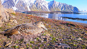 Common Eider duck (Somateria mollissima) nesting amongst Purple Saxifage (Saxifraga oppositifolia) on Svalbard, Spitzbergen, Norway July 2009. The down feathers lining the nest are collected and sold...  -  Jeff Wilson