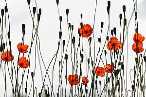 Long-headed Poppy (Papaver dubium) flowers and seedheads  against sky, growing on wasteland next to car-park, Calne, Wiltshire, UK, June. SPECIALLY COMMENDED, In Praise of Plants category, WILDLIFE PH... - David Maitland