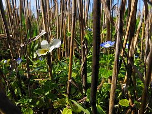 Field pansy (Viola arvensis)  and Common field speedwell (Veronica persica) reaching upwards towards the light amongst the stubble of a harvested barley field. Feltwell, Norfolk, UK, October. Highly...  -  David Maitland