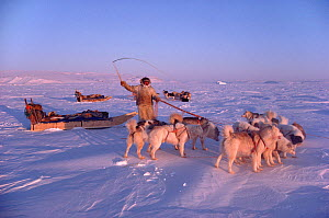 Inuit hunter using whip to control his dogs during hunting trip. Northwest Greenland, 1986. 40 BELOW bookplate.  -  Bryan and Cherry Alexander