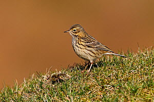 Meadow Pipit (Anthus pratensis) on moorland, North Wales, UK, April  -  Alan Williams