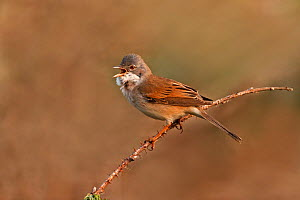Male Whitethroat (Sylvia communis) perched, singing on territory, Cheshire, UK, May  -  Alan Williams