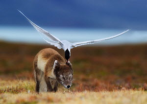Arctic tern (Sterna paradisaea) attacking an Arctic Fox (Vulpes / Alopex lagopus) protecting its nest site, Spitsbergen, Svalbard, Norway. Highly commended, MAMMALS,  GDT 2011 competition  -  Ole Jorgen Liodden