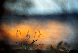 Snowdrops (Galanthus nivalis) on lake shore in hazy sunset light. Neubrandenburg, Mecklenburg, Western Pomerania, Germany. Winner, In Praise of Plants category,  WILDLIFE PHOTOGRAPHER OF THE YEAR COMP... - Sandra Bartocha