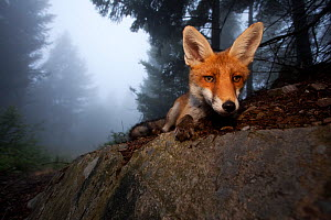Red Fox (Vulpes vulpes) vixen on a misty day in woodland, Black Forest, Germany, July. Runner-up in Animal Portraits category, Wildlife Photographer of the Year competition 2011. Winner of Fritz Polki...  -  Klaus Echle