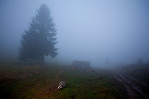 Badger (Meles meles) foraging on a misty day in woodland clearing, Black Forest, Germany. Highly commended in Animals in their Environment category, Wildlife Photographer of the Year 2011 competition  -  Klaus Echle