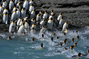 King penguins (Aptenodytes patagonicus) crossing water to reach breeding site, South Georgia. Taken on location for BBC Frozen Planet series, 2008  -  Chadden Hunter