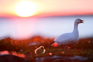 Snow goose with gosling (Chen caerulescens) at sunset. Taken on location for BBC Frozen Planet series, 2008 - Chadden Hunter