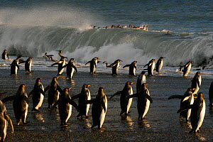 King penguins (Aptenodytes patagonicus) heading out to sea, crossing tidal surf to feed in the open seas, South Georgia. Taken on location for BBC Frozen Planet series, 2008  -  Chadden Hunter