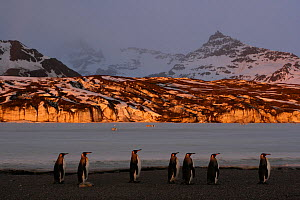 King penguins (Aptenodytes patagonicus) walk along beach, South Georgia. Taken on location for BBC Frozen Planet series, 2008 - Chadden Hunter