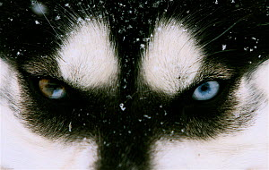Close up of Husky dog eyes (Canis familiaris), note the different eye colour, Northern Canada. Taken on location for BBC Frozen Planet series, 2009 - Chadden Hunter