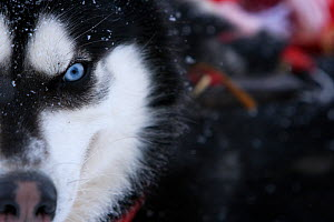 Husky dog (Canis familiaris) Northern Canada, taken on location for BBC Frozen Planet series, 2009  -  Chadden Hunter