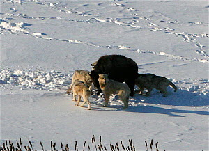 Aerial view of Timber wolves (Canis lupus) attacking a Bison calf (Bison bison) on the Arctic circle in Northern Canada.  Taken on location for BBC Frozen Planet series, 2009  -  Chadden Hunter